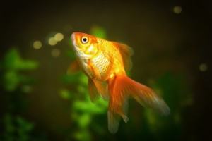 A goldfish pays attention for 9 seconds, Americans  only 8.25 seconds.