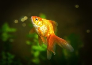 How Short Attention Spans Confound Content Marketing - A goldfish pays attention for 9 seconds, Americans only 8 seconds.