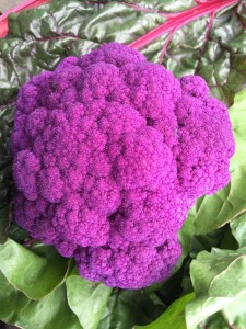 Heirloom purple cauliflower