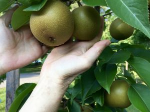 Abundant Harvest of Asian Pears