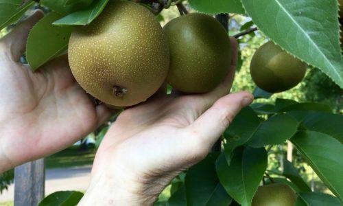Abundant Harvest of Asian Pears