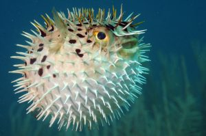pufferfish marketing