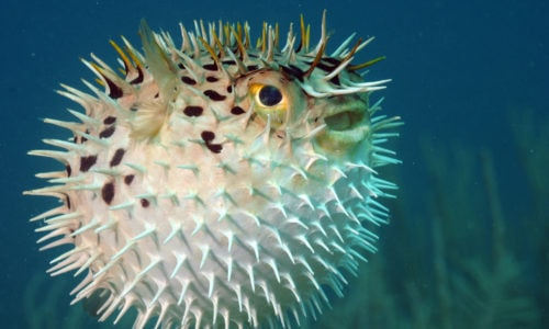 pufferfish marketing